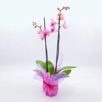 Phalaenopsis 'Pretty in Pink' h70cm von Blumen Weimar in Neu-Ulm